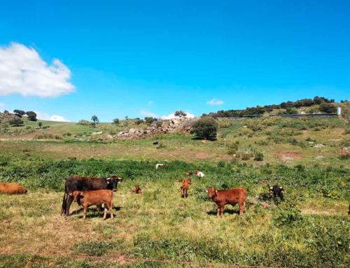 PRESERVING THE PAJUNA, OUR HERITAGE CATTLE